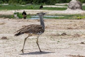 Dit is de nationale vogel van Botswana, de Koritrap. De grootste vliegende vogel van Africa.