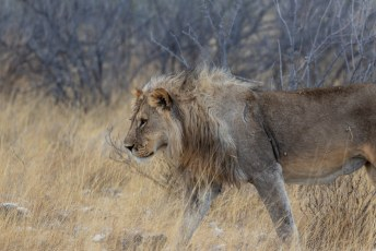 Dit is een Panthera leo melanochaita, of Black Maned Lion, die komt voor in Zuid- en West-Afrika.