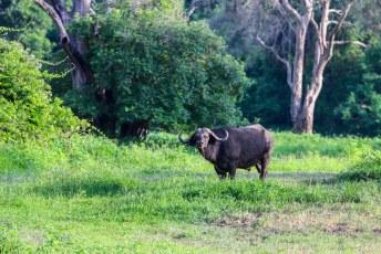 We waren lekker bezig ons lijstje compleet te krijgen toen ook nog deze Cape buffalo (Syncerus caffer) ons pad kruiste.