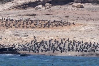 Er zijn ook pinguins, en wel de zgn. Jackass Penguin (Spheniscus demersus).