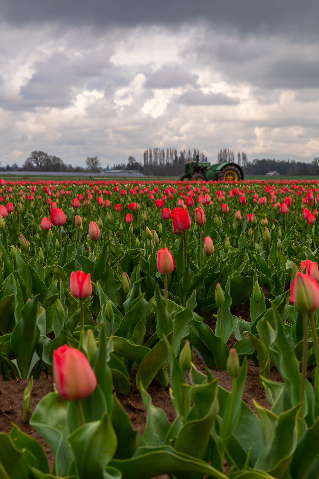 04.02. Wooden Shoe Tulips Festival