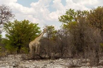 Daarna zagen we een tijdje niks totdat we deze Angolese Giraf tegenkwamen.