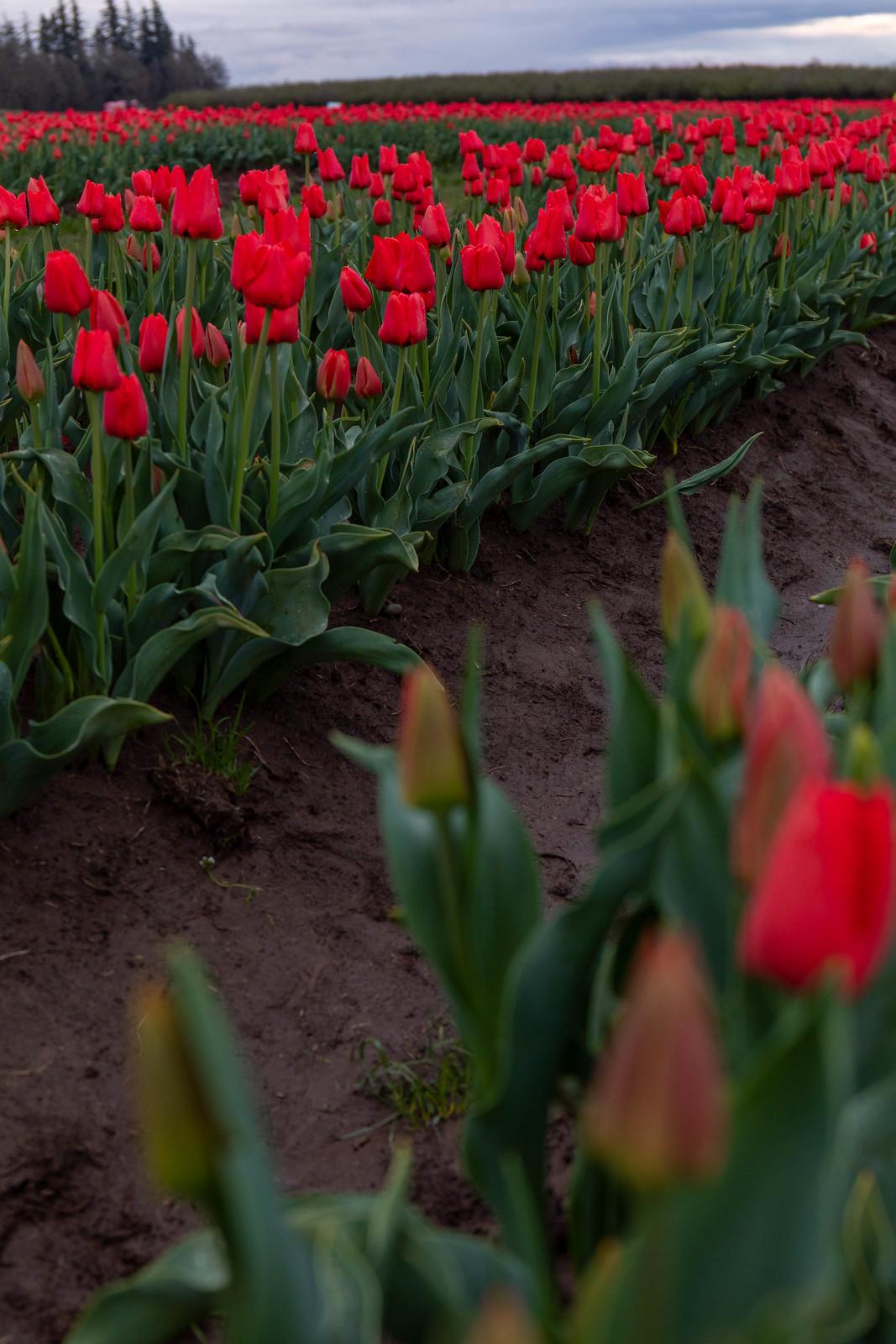 04.03. Wooden Shoe Tulip Festival, OR
