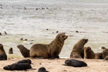 Hier in Cape Cross leeft de grootste kolonie van Kaapse Pelsrobben.