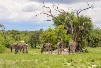 Deze Zebrasoort al wel, in overvloed zelfs.