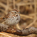 Bruant chanteur, Song Sparrow