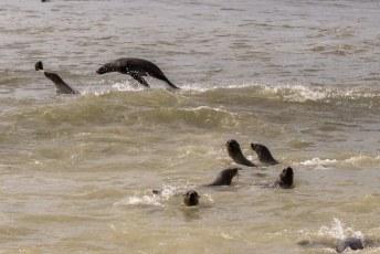 En in het water spelen vinden ze ook leuk, en ze schijnen meer vis te vangen dan de Namibische vissersvloot.