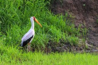 De Afrikaanse Nimmerzat (Mycteria ibis).