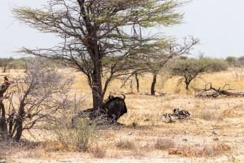 Dit is de andere soort wildebeest, de blauwe gnoe (alhoewel hij zwart is).