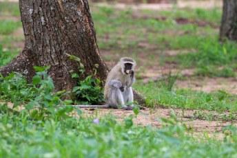 Wist je dat vervet aapjes ook graag alcohol lusten?