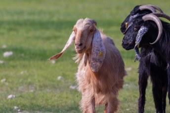 We zagen langs de kant van de weg een kudde zwarte Anglo-Nubische geiten met één blondine.