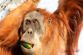Orang Utan with cucumber