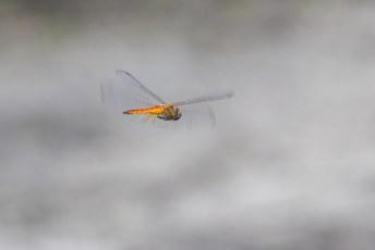 's Ochtends was ik een tijdje druk omdat ik persé een foto van een vliegende libelle wilde. En die krengen zijn vliegensvlug.