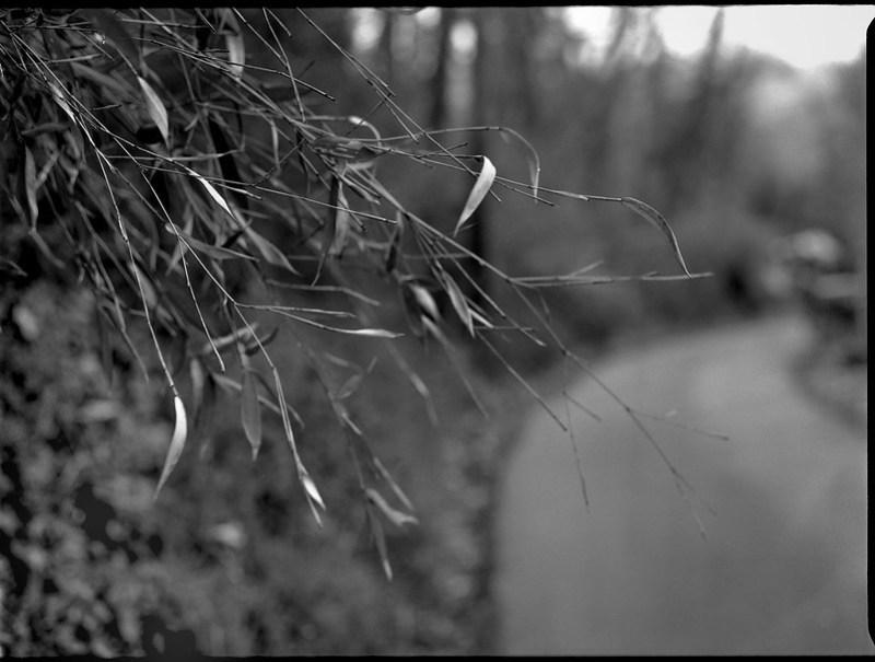 emerging bamboo leaves, trees, curving roadway, North Asheville, NC, Mamiya 645 Pro, mamiya sekor 80mm F-2.8, Ilford FP4+, Ilford Ilfosol 3 Developer, 3.20.18