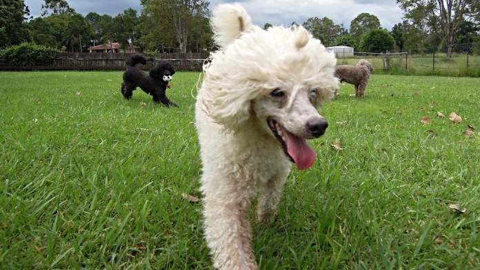 Rupert, miniature poodle | The poodle is a group of formal d… | Flickr