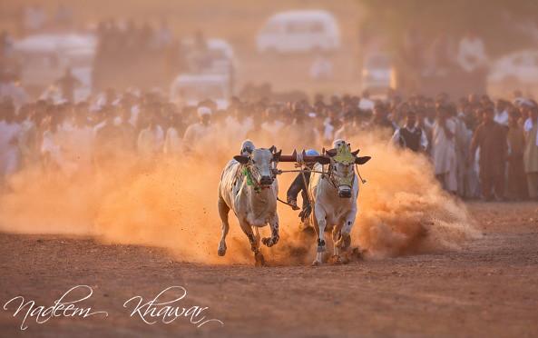 Ox Race.