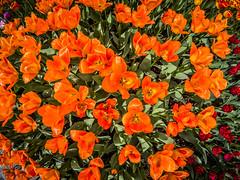 Roozengaarde Tulips-002