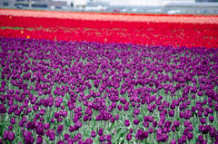 Skagit Valley Tulips-78