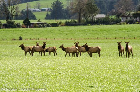 Wild Elk on the Oregon Coast
