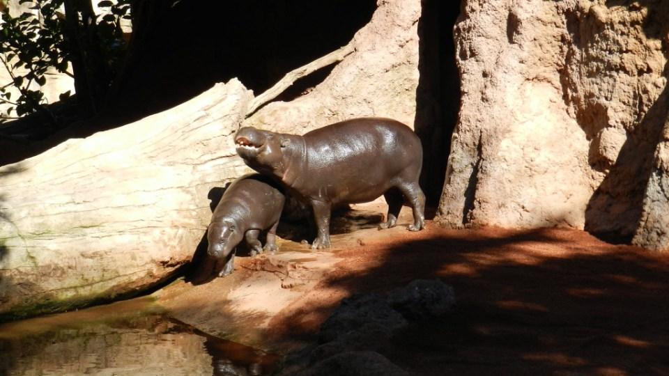 Hipopotamo pigmeo o enano Zoo Bioparc Fuengirola Malaga 03