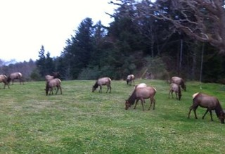 Wild Elk in the back yard.