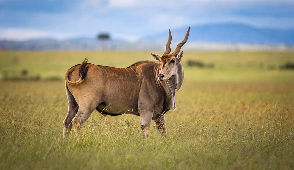 Beautiful Common Eland Eland Antelope Beautiful Animal