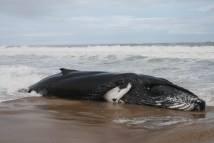 Photo of whale stranded on beach