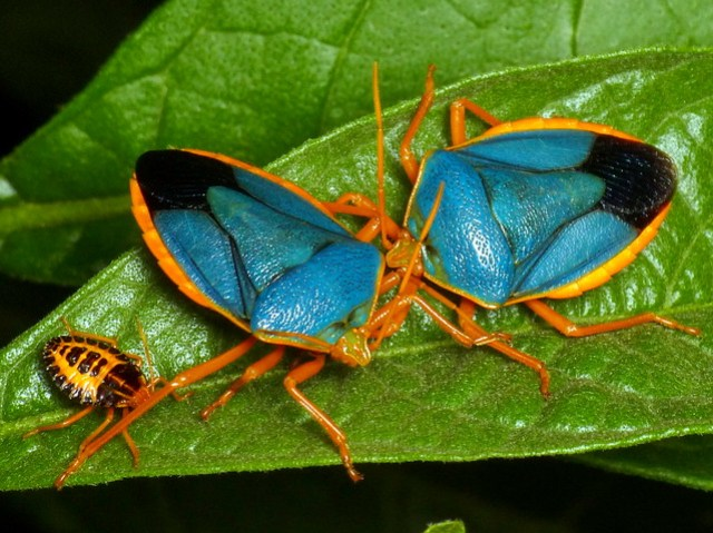 Shield bugs and nymph, Edessa rufomarginata, Pentatomidae