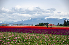 Skagit Valley Tulips-68