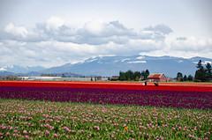 Skagit Valley Tulips-68
