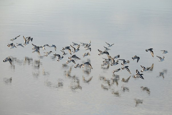 A flying flock of Ruddy Turnstones and their reflections