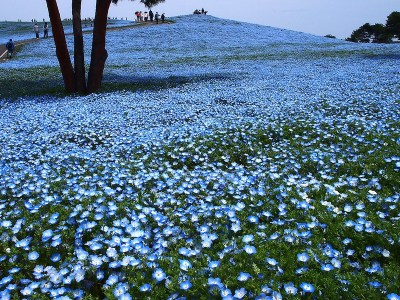 The hill where Baby Blue-Eyes bloom