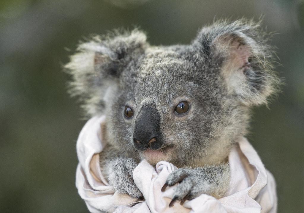 Wild Koala Joey Wild Koalas Of St Bees Island Are