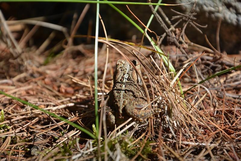 Toad at Voyageurs National Park