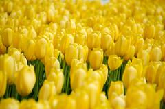 Skagit Valley Tulips-59