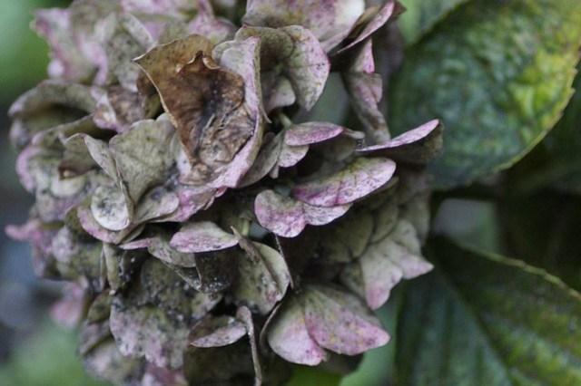 Bloemen in de tuin,september 005.JPG.ovf