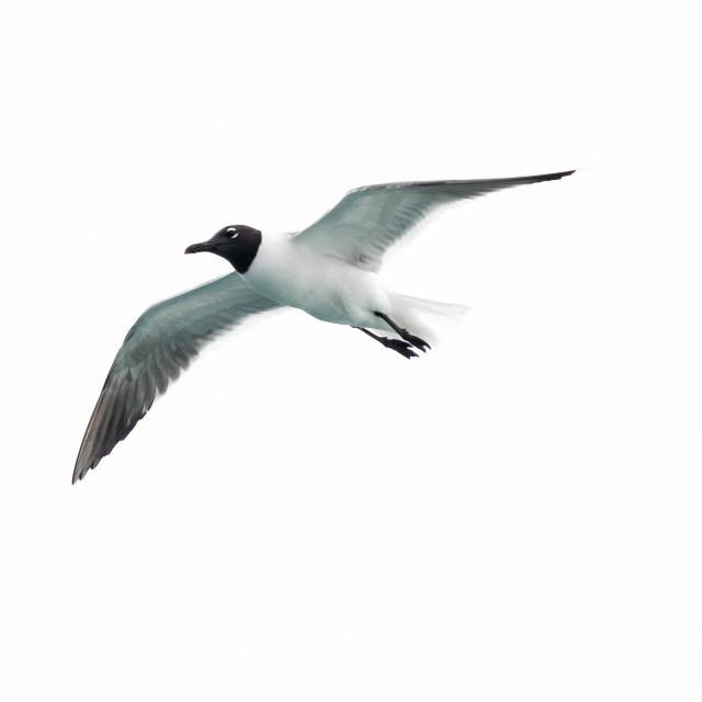 laughing gulls were our constant companions during the voyage
