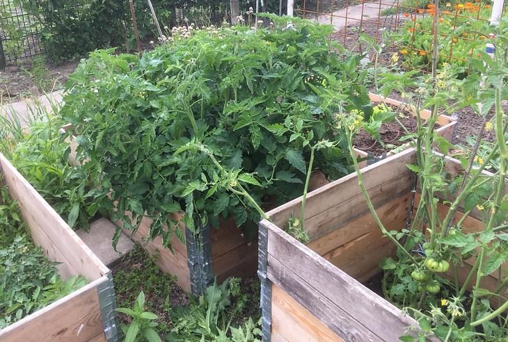 tomaten dieven