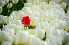 Skagit Valley Tulips-61