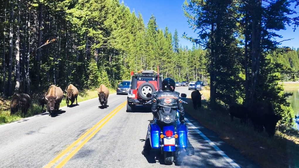 Traffic on Yellowstones Grand Loop 2 days in Yellowstone National Park