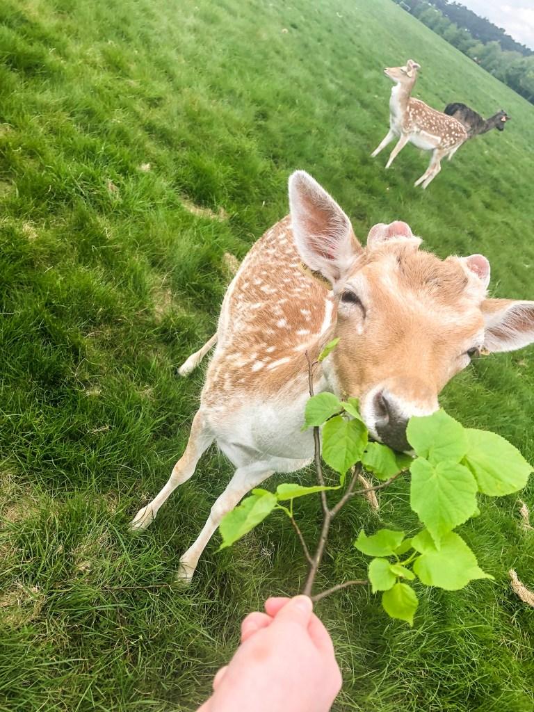 Walks in Dublin Phoenix Park Deer