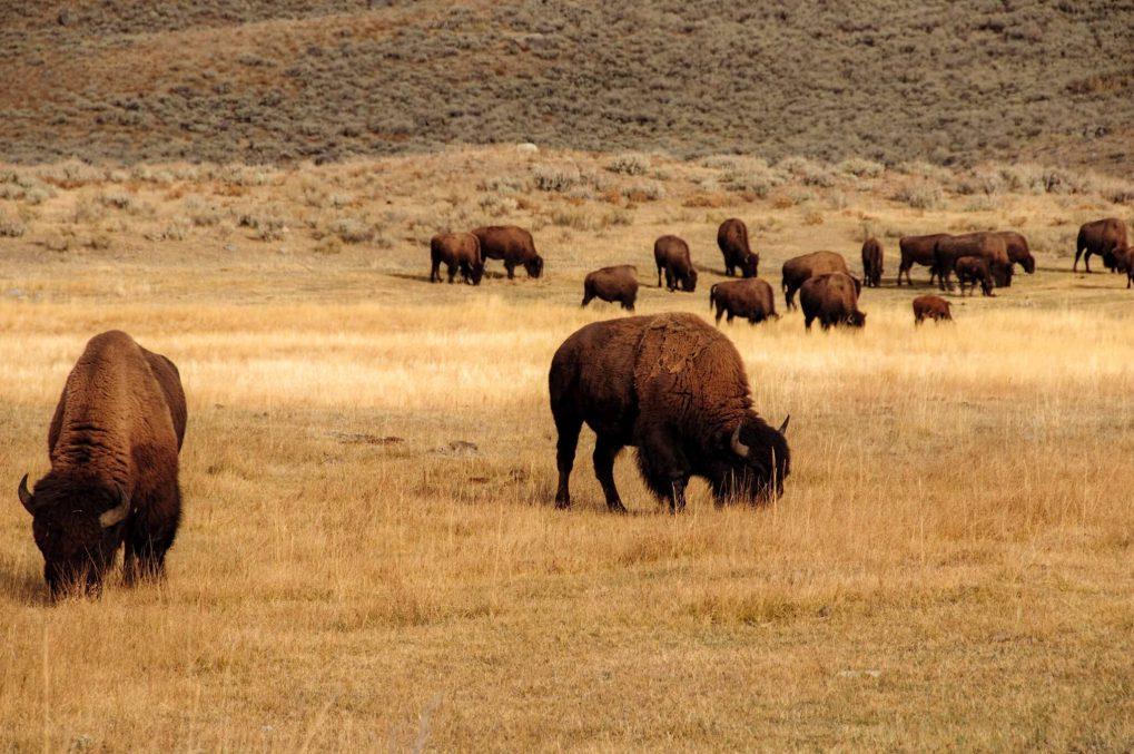 2 Days in Yellowstone: Buffalo Eating Grass at Yellowstone National Park