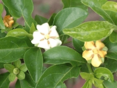 Madanaphala - Randia Spinoza - Ayurvedic Herb