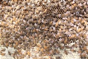 Bee's Honey Comb