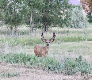 Wyoming Mule Deer | Wyoming resident and author of Your 6-Week Guide to LiveBest shares favorite things to do in Casper. www.LiveBest.info