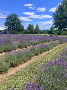 Bleu Lavander fields, Quebec, Canada