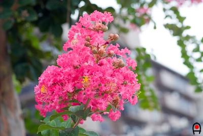 街路樹のサルスベリの花