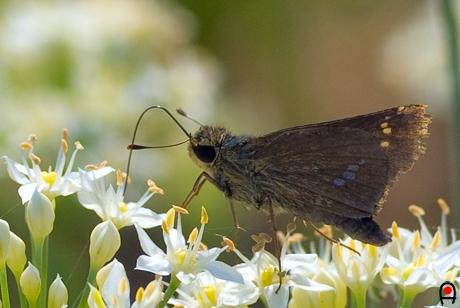 ニラの花とイチモンジセセリの写真
