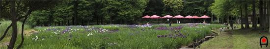 井頭公園の花菖蒲園の写真