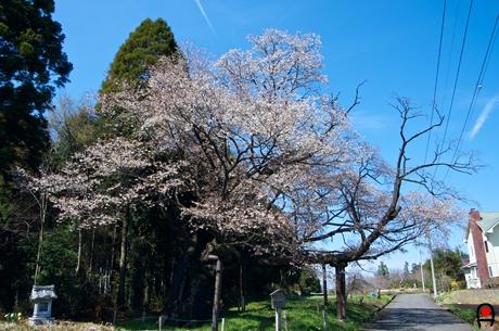 西山辰街道の大桜の写真